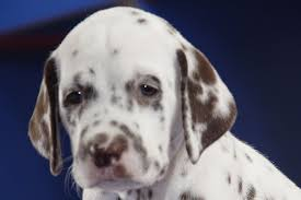 Pododermatitis in Dogs - Symptoms, Causes, Diagnosis, Treatment ...