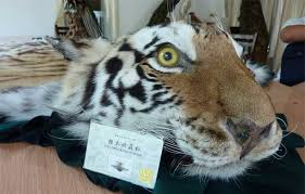 a permit and a tiger skin rug in xiafeng taxidermy china photo c eia