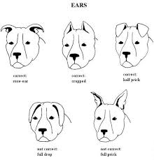 Pitbull Ear Crop Chart Ear Crop Information And Care Pit Bull Chat Forum