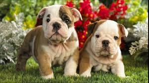 cute english bulldog puppy. Wonderful Puppy English Bulldog Puppies Cute Pet Bulldogs Cutest Puppy Compilation  British Bull Dogs Pups  YouTube Intended Cute N