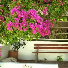 Climbing Plants For Walls And Fences  Plants For A Purpose Wall Climbing Plants In Pots
