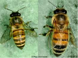 Identifying Asian Honey Bees Department Of Agriculture And