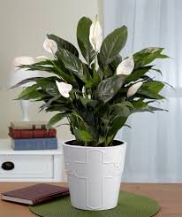 peace lily indoor