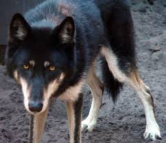 black german shepherd wolf hybrid. Delighful Black A German Shepherdwolf Mix  With Black Shepherd Wolf Hybrid Y