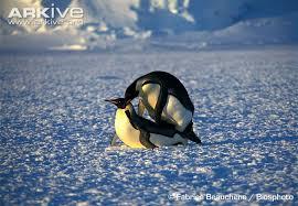 emperor penguin predators and prey. Brilliant Emperor Emperor Penguins Copulating For Penguin Predators And Prey P