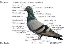 Roller Pigeon Color Chart Pigeons Everything There Is To Know About The Pigeon Pcrc