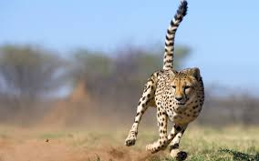 big cats images cheetah hd wallpaper and background photos