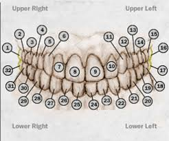 Uncommon Dental Chart With Teeth Numbers Printable Molar