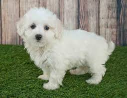 Teacup Maltese Growth Chart Teacup Maltipoo Teacup Maltese Poodle Mix The Ultimate