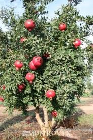 146 Best TREES WE ARE GETTING Images On Pinterest  Berries Fruit Full Size Fruit Trees For Sale