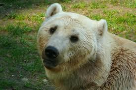 grolar bear size polar peril honi soit