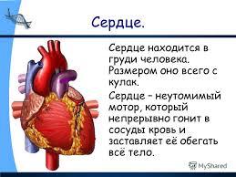 Презентация на тему Строение тела человека Организм человека  12 Сердце