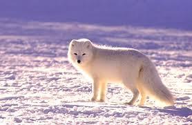 arctic fox description habitat