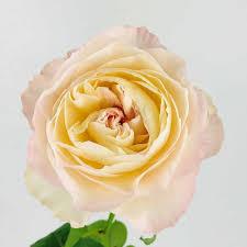 keira garden rose