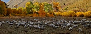 Image result for sheep drive idaho