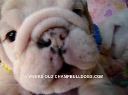 English Bulldog Price Chart Best English Bulldog Puppies Life Stages Video New Born To 6 Weeks Old
