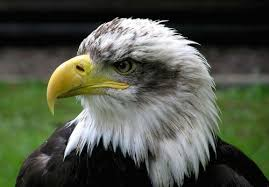 Small Picture Bald Eagle Facts for Kids Now for some good news