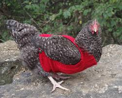 Chicken Sweater Pattern Beauteous Cabled Chicken Sweater AllFreeKnitting