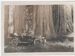 Highlights from the Gary D. and Myrna R. Lowe collection on the Big Tree of  California | News Break