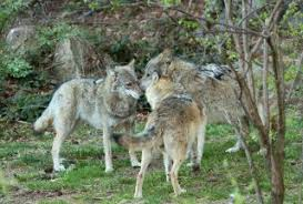 Wolf Vs Dog Size Chart Dog Family Facts About Canines Their Cousins Live Science