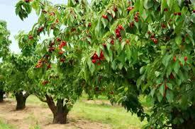 Crataegus Mayhaw U003d Zalzalak Persian  Fruits  Pinterest Iranian Fruit Trees