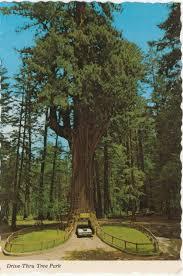 postcard redwood tree drive thru park 102113 resized