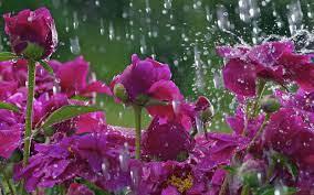 HD Flowers Water Drops Desktop Photo ...