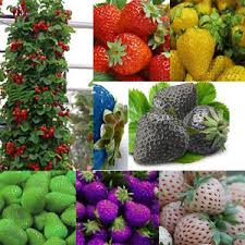 garden seed. Image Is Loading 100pcs-Strawberry-Climbing-Strawberry-Fruit-Plant-Seeds -Home- Garden Seed