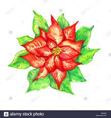 Rot Weihnachtsstern Blume Auf Weissem Watercolor