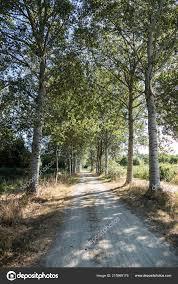 シルバー ポプラとも呼ばれる白アベレ ギンドロ と車線を Sandpath 夏の