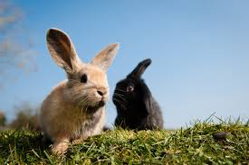 how to look after a rabbit rabbit bedding vaccinations behavior information blue cross