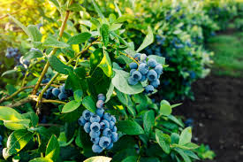 How To Plant A Blueberry Bush For Cross Pollination Home