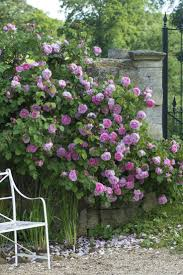 37 best images about all about rose gardening on Pinterest