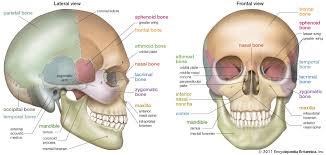 Skull Definition Anatomy Function Britannica