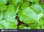 hostaceae