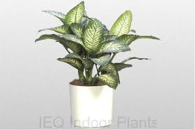 Tropical office plants Popular Dieffenbachia snow Avril Paradise Best Indoor Plants Brisbane Zanzibar Gem Low Light Plants