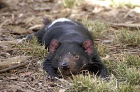 geography essay on tasmania essay includes details tasmanian devil relaxing