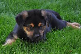 german shepherd rottweiler mix puppies. Contemporary Rottweiler German Shepherd Rottweiler Mix Puppies To German Shepherd Rottweiler Mix Puppies E