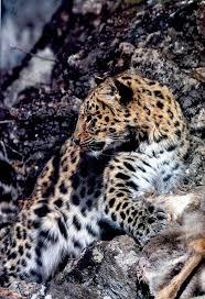 The 25+ best Amur leopard facts ideas on Pinterest | List of big ...