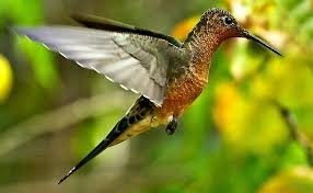 Giant Hummingbird Wikipedia