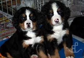 bernese mountain dog puppies. Delighful Dog Berner Puppies U0026 Corgi In San Diego Southern California  Bernese  Mountain Doga Pembroke Welsh Corgis Expressions Of Grace With Dog