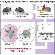 Basal Mitophagy Occurs Independently of PINK1 <b>in</b> Mouse Tissues ...