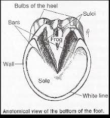 Hoof Anatomy Colorado Equine Veterinary Services