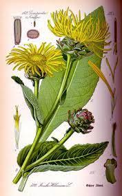 Oman (Inula helenium) - Ljekovito bilje