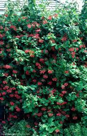 Climbing Plants Texas