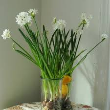 Paper White Flower Bulb How To Force Paperwhite Narcissus Bulbs