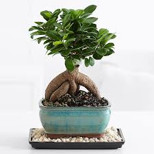 ginseng grafted ficus bonsai bonsai tree