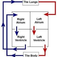Cardiopulmonary Flow Chart Heart Diagram Heart Blood Flow