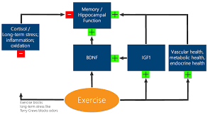 exercise and cognitive health exercise improves memory through multiple pathways exercise enhances memory by ameliorating the effects of stress raising bdnf and igf1 and contributing