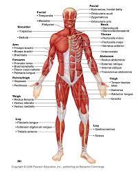 system diagram <b>labeled</b> 209 Human Muscular System Diagram <b ...